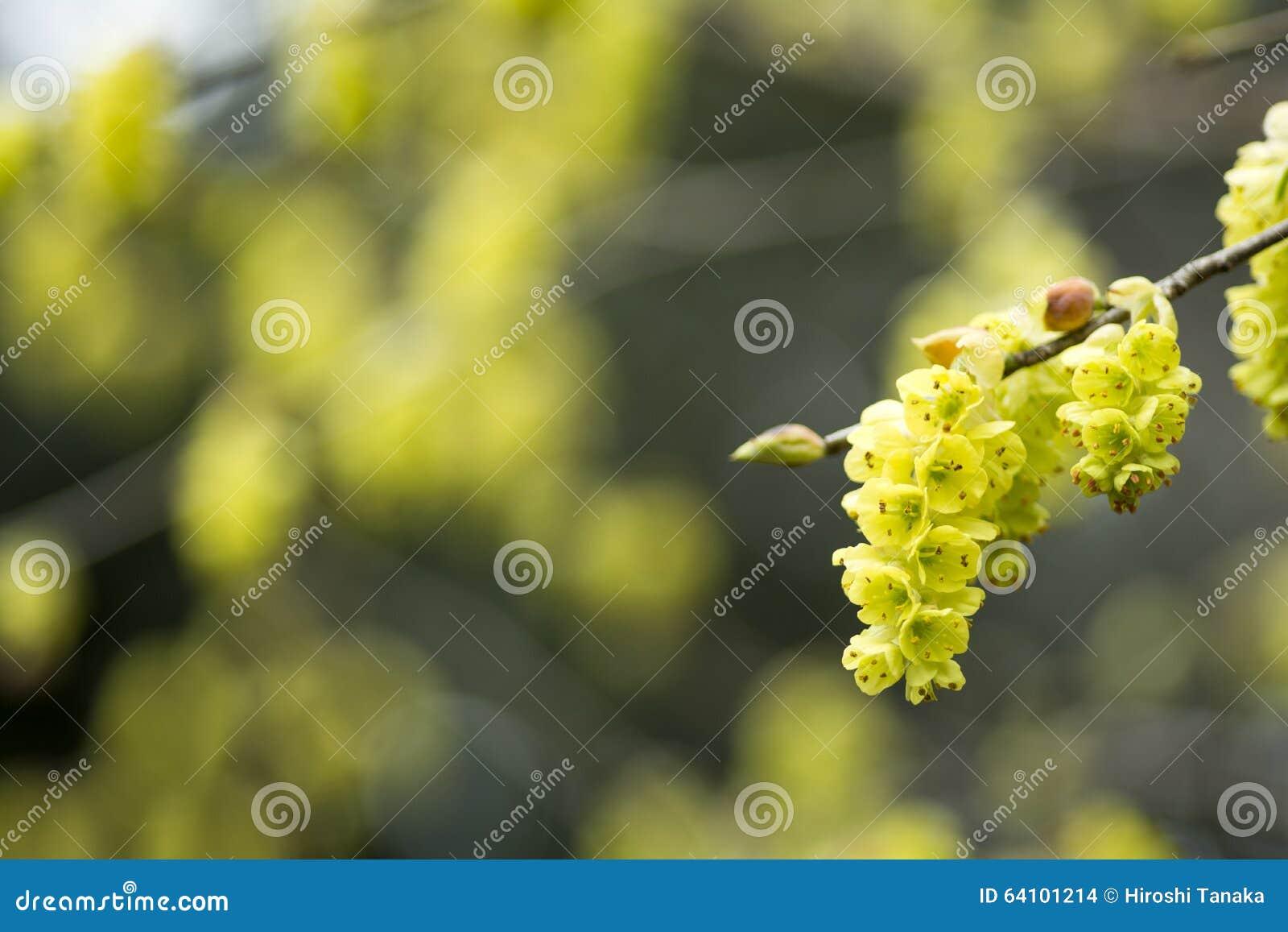 Fleur de noisette d hiver de transitoire