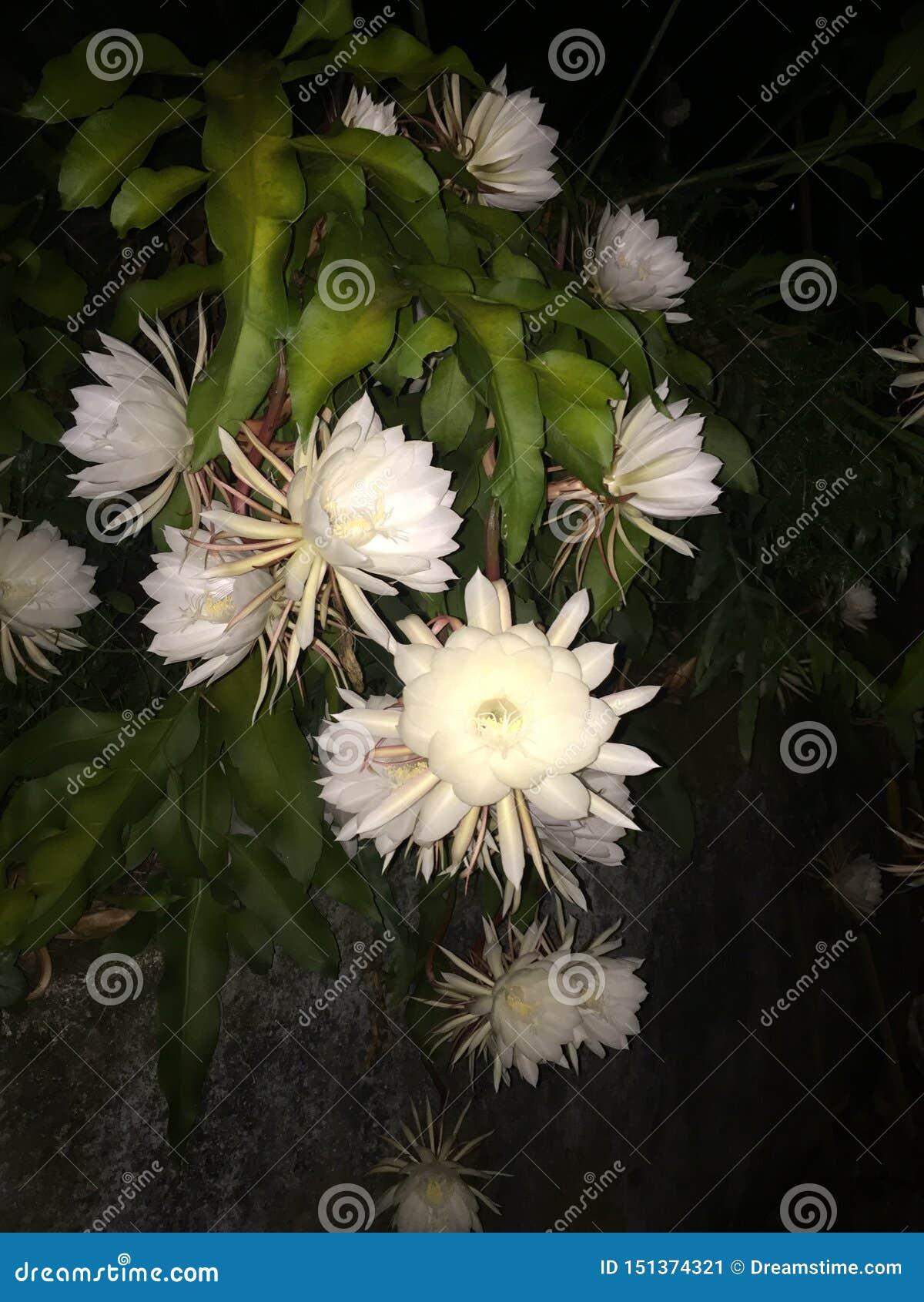 Fleur de nuit de Kadupul
