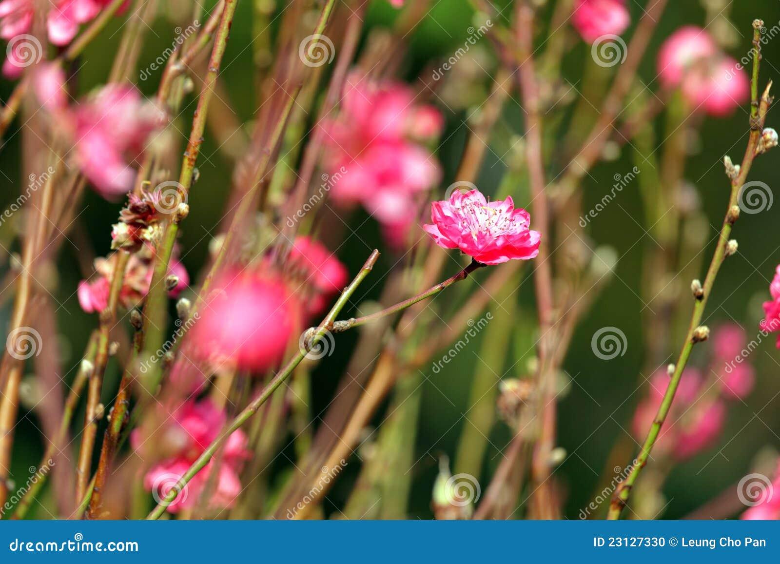 Fleur de pêche