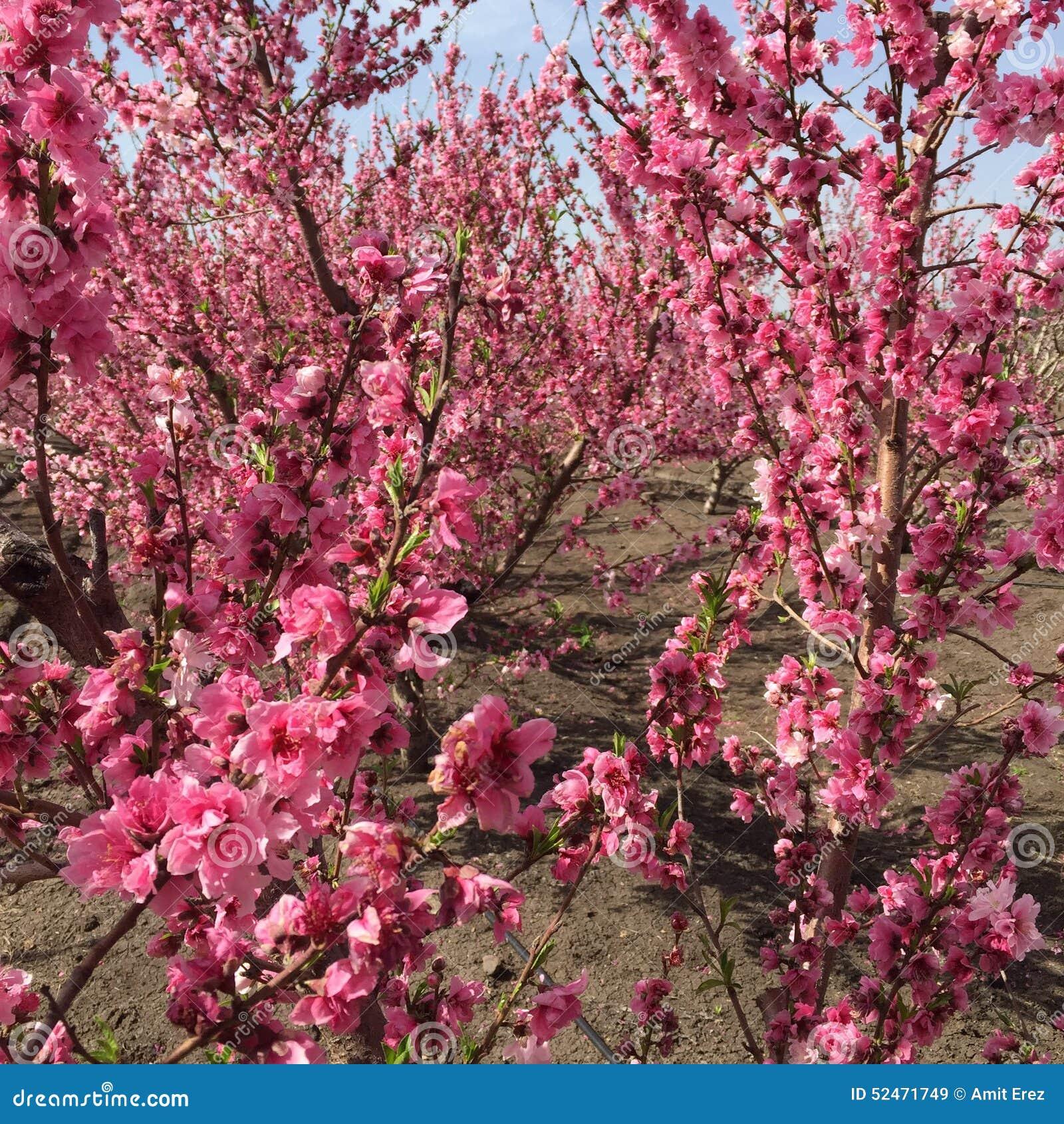 Fleur De Pecher Image Stock Image Du Arbre Peche Fleur 52471749