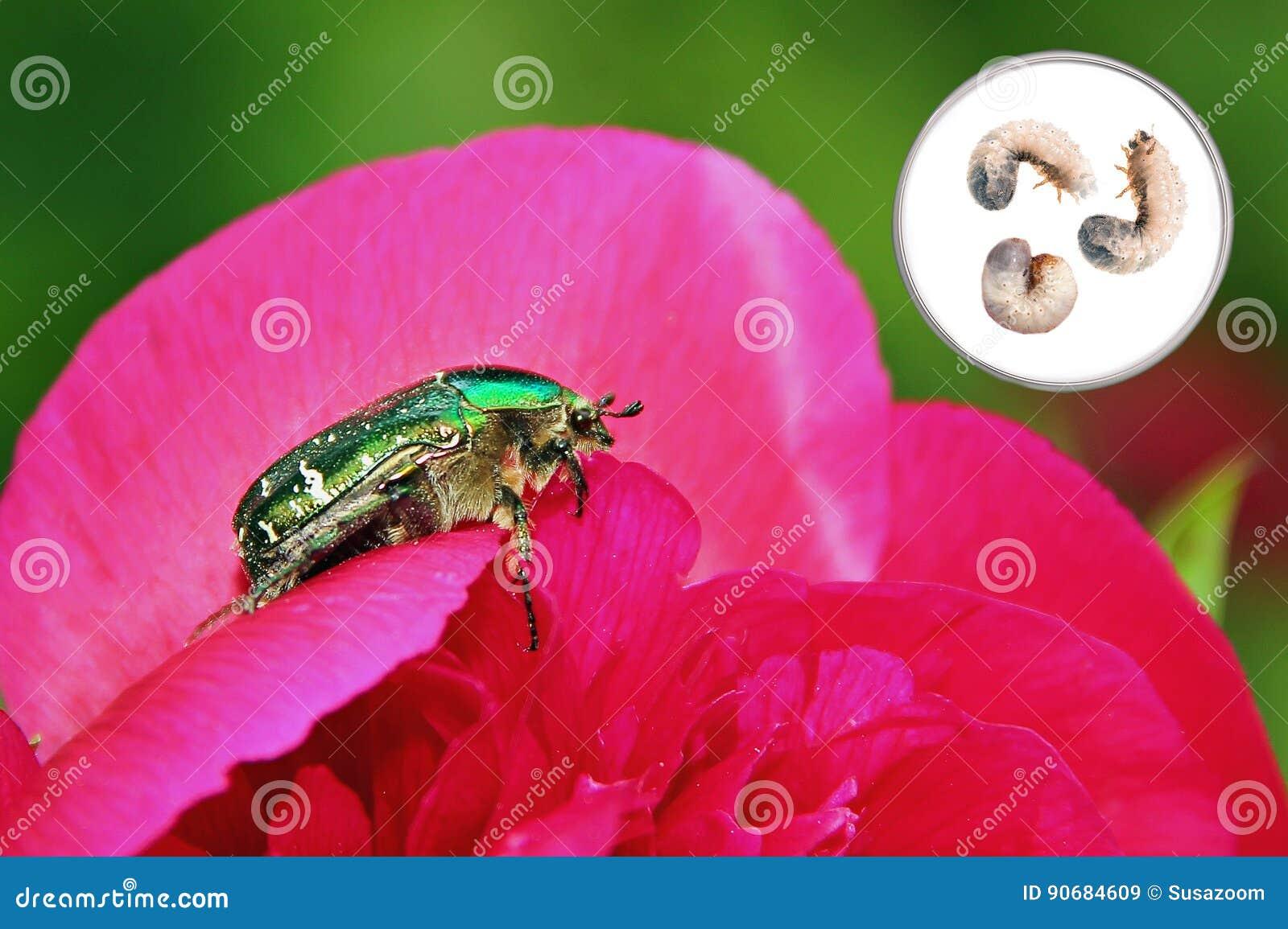 fleur de paeony avec le scarabée rose et les larves photo stock