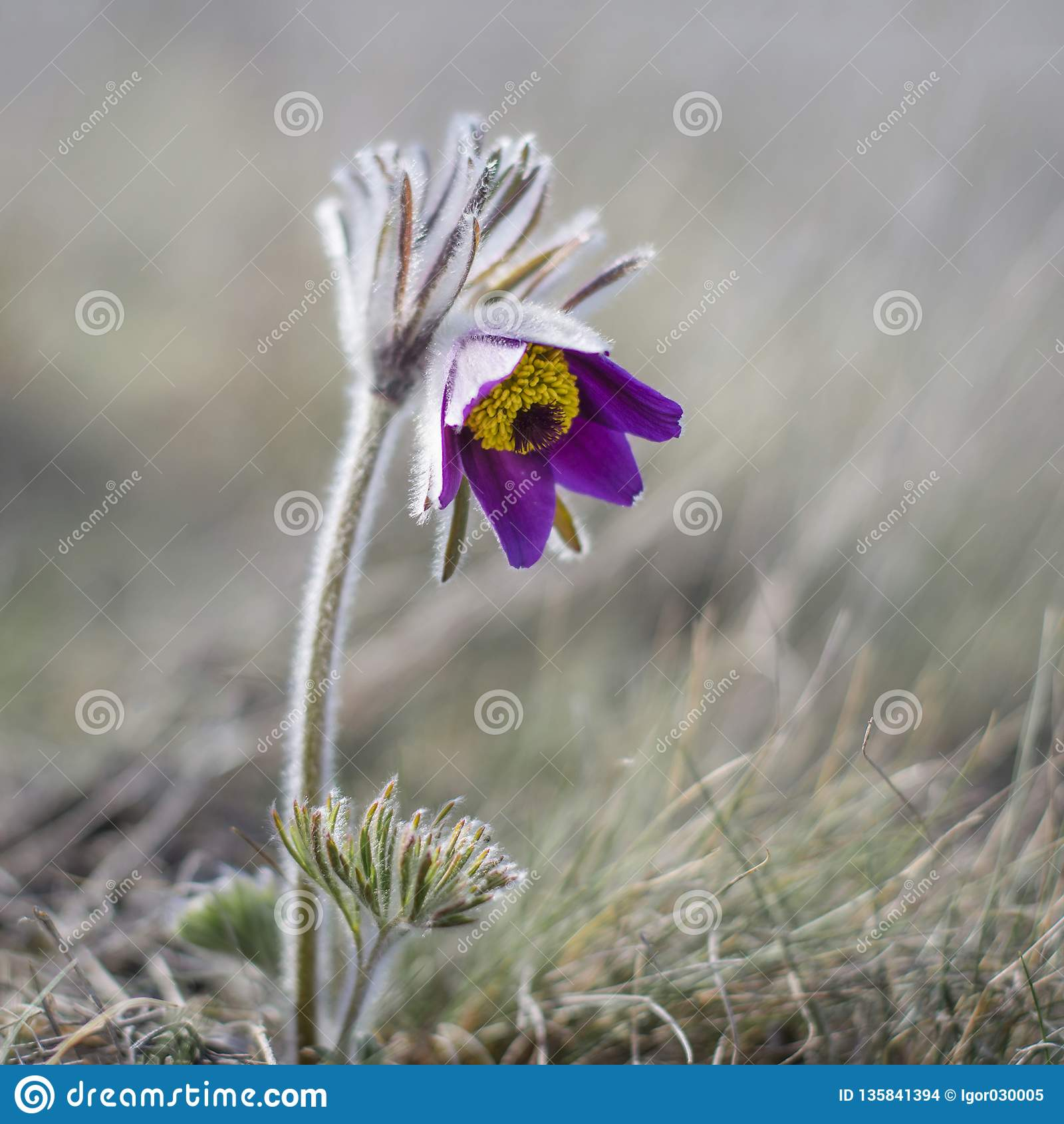 Fleur de fleur de Pasque