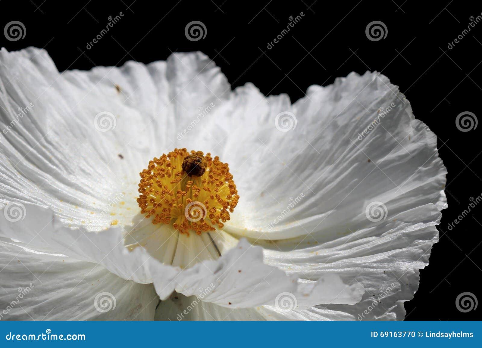 fleur de pavot pineux photo stock image 69163770. Black Bedroom Furniture Sets. Home Design Ideas