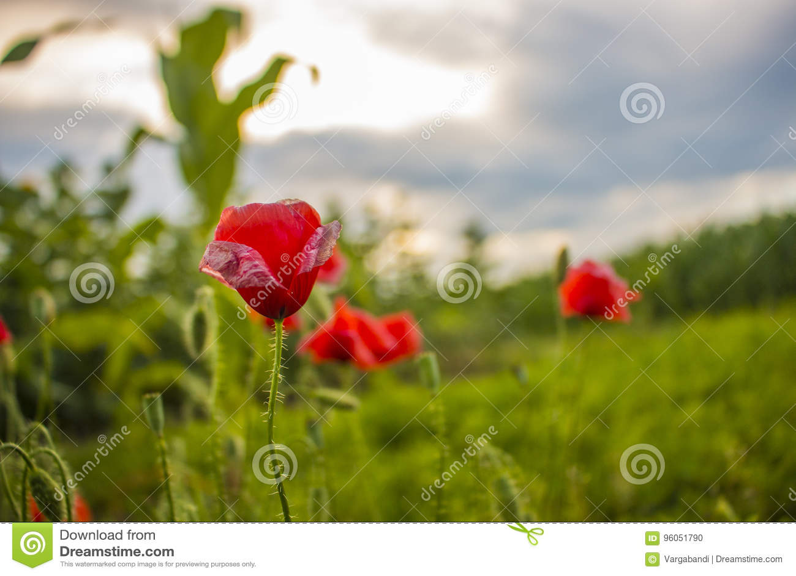 Fleur de pavot sur le champ