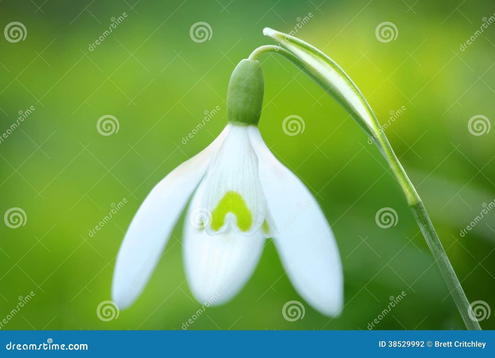 Fleur de perce-neige de ressort
