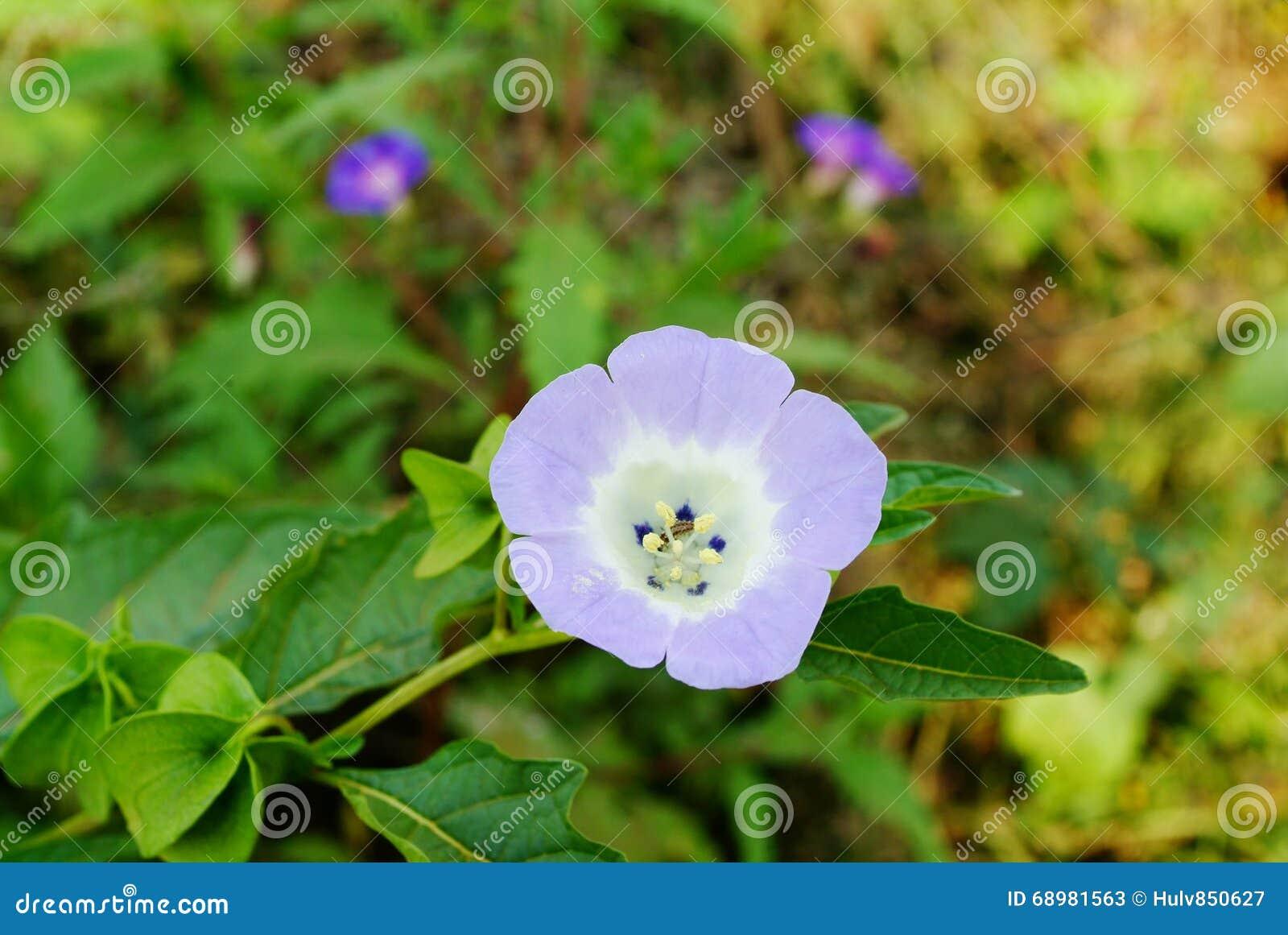 fleur de physalis image stock image du jardin couleur 68981563. Black Bedroom Furniture Sets. Home Design Ideas