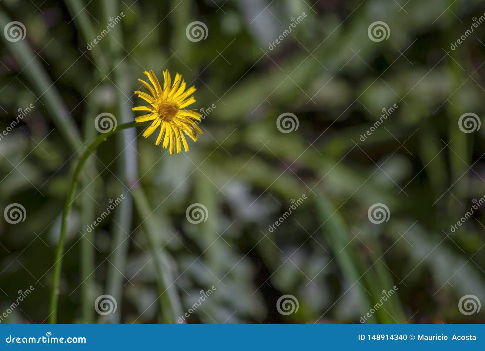 Fleur de pissenlit faisant face au soleil