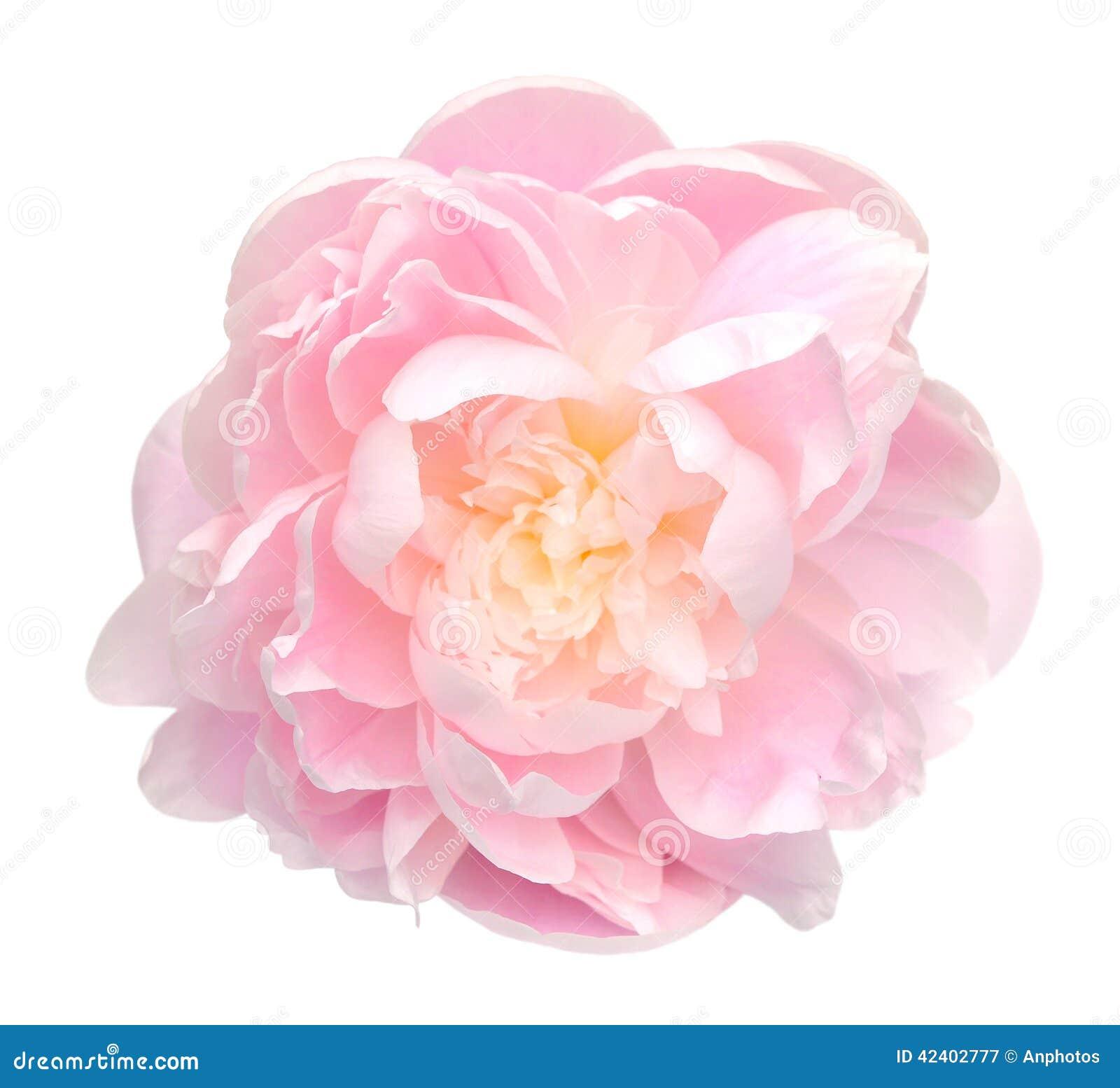 fleur de pivoine image stock image du nature closeup 42402777. Black Bedroom Furniture Sets. Home Design Ideas