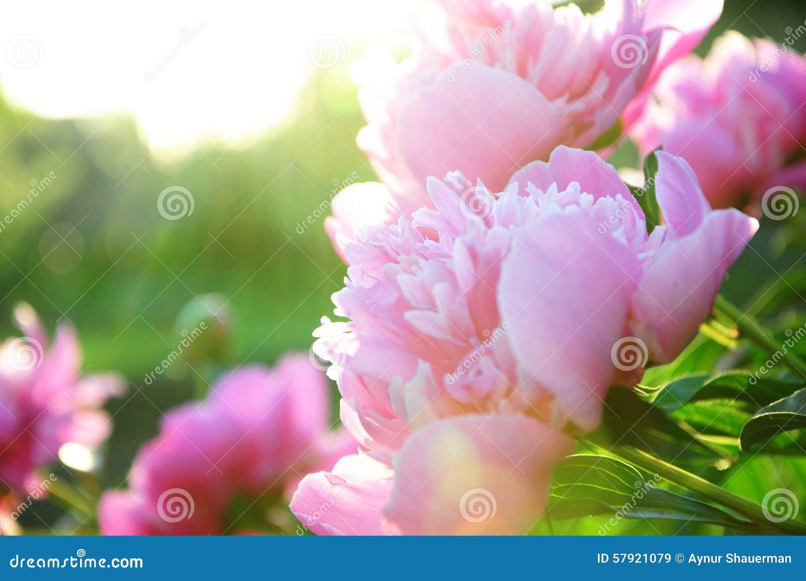 Fleur de pivoine fleurissant dans des rayons du soleil image stock image 57921079 - Fleur du soleil ...