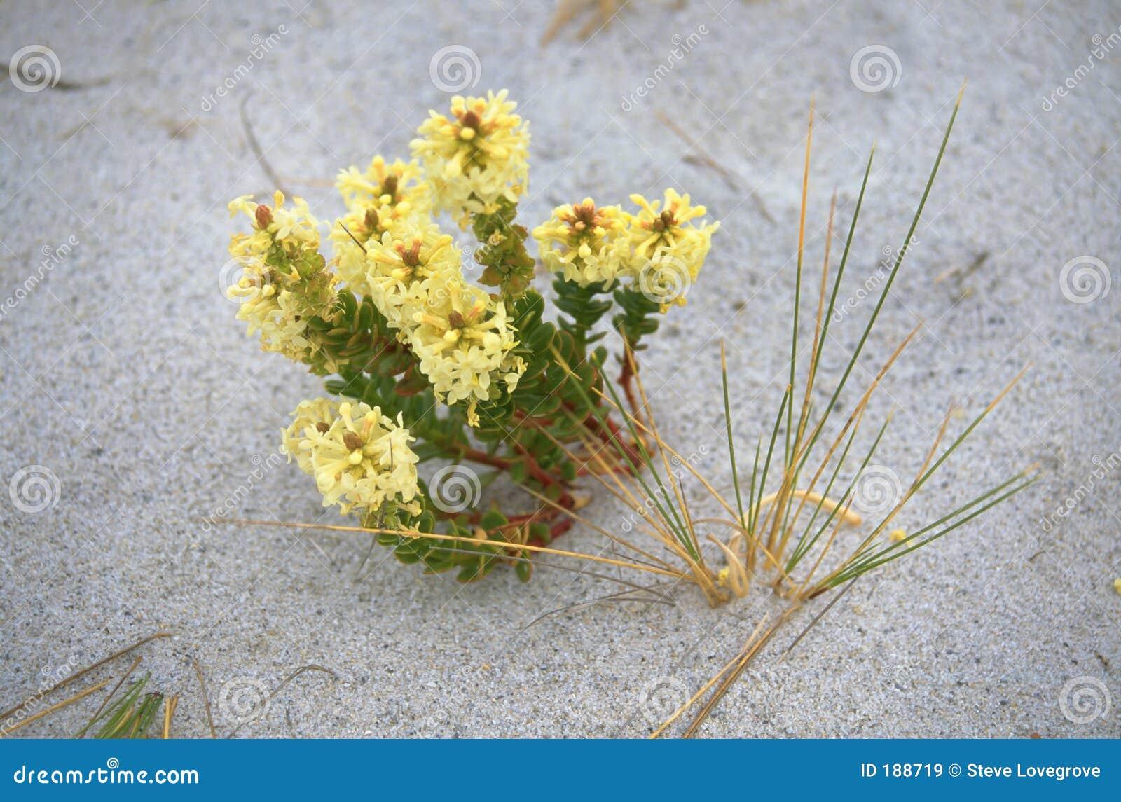 Fleur de plage