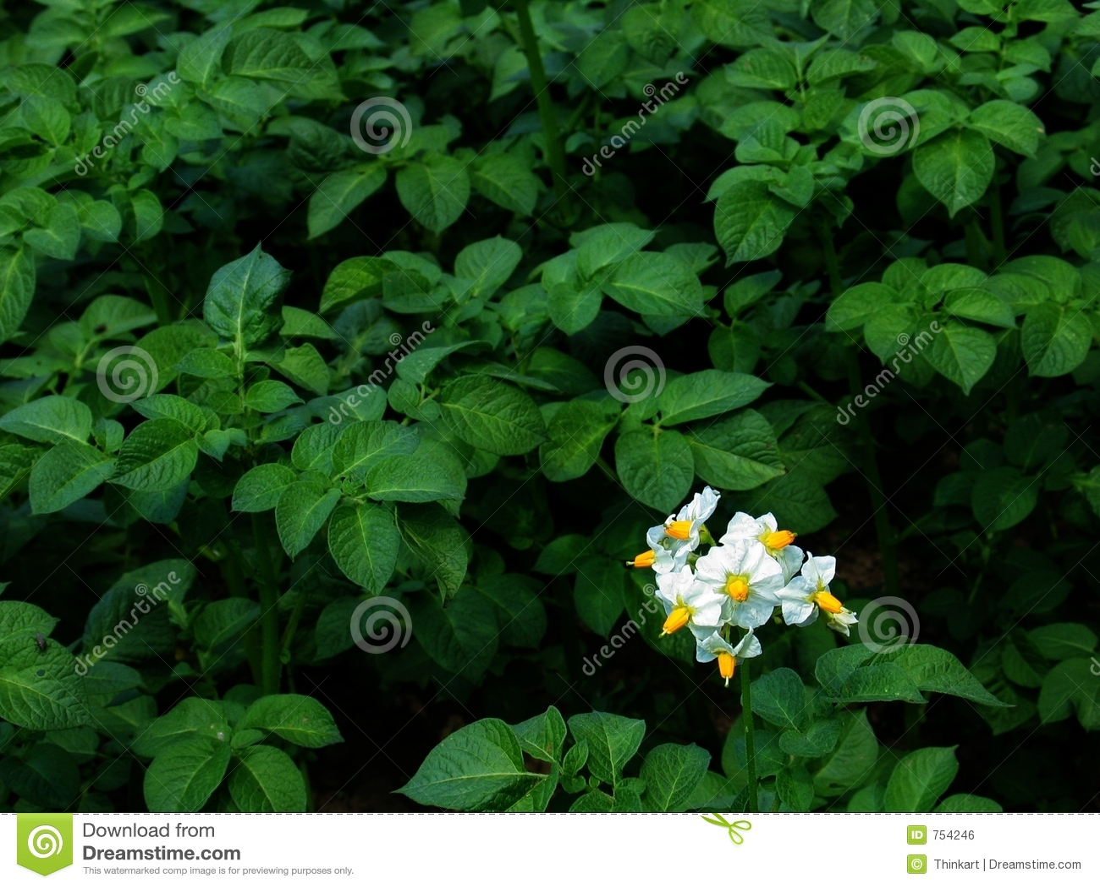 fleur de plante de pomme de terre dans la fleur image libre de droits image 754246. Black Bedroom Furniture Sets. Home Design Ideas