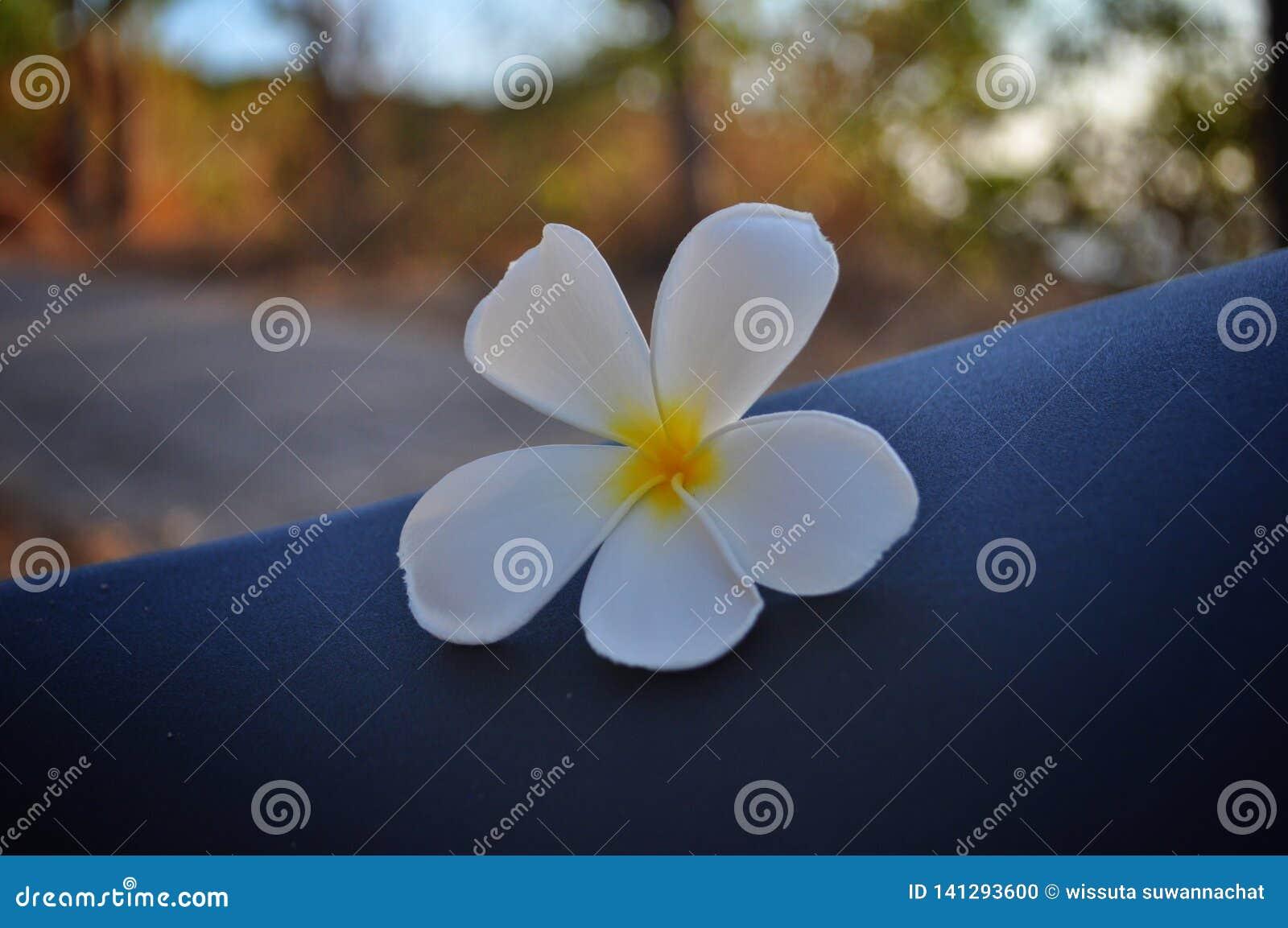 Fleur de Plumeria sur le siège de moto