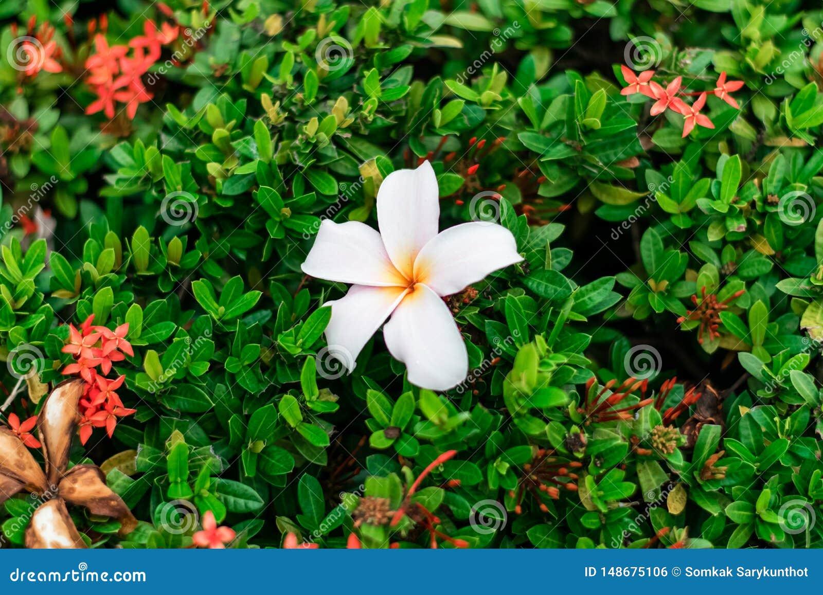 Fleur de Plumeria sur les fleurs rouges de transitoire