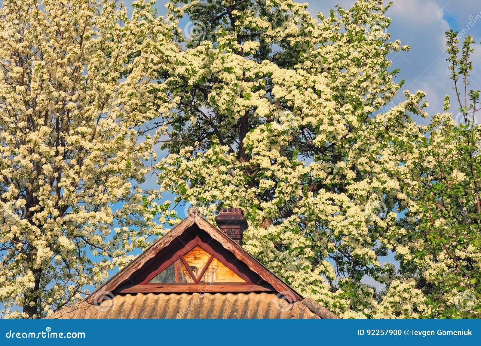 fleur de poire en premier ressort, bel arbre couvert de fleurs