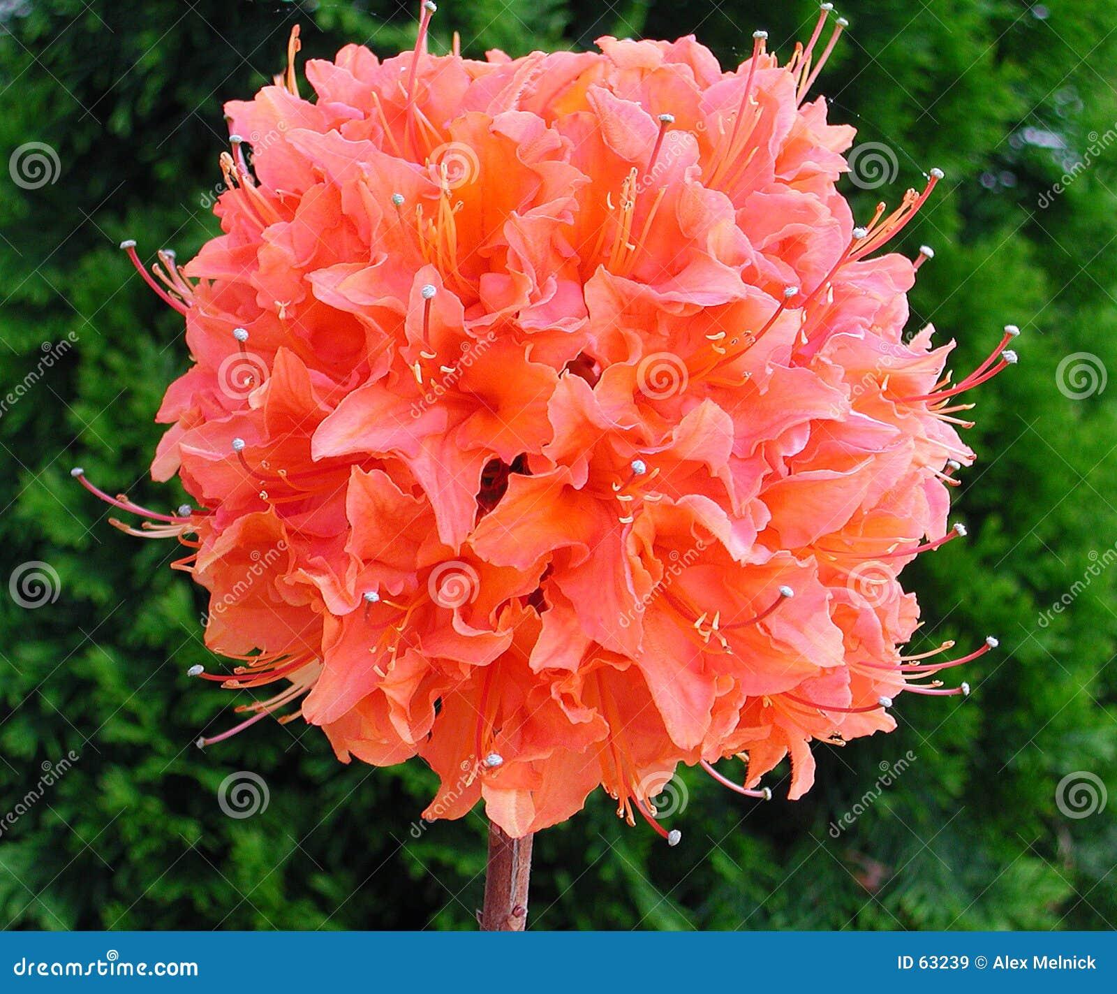Download Fleur de Pom Pom image stock. Image du rose, été, noir, closeup - 63239