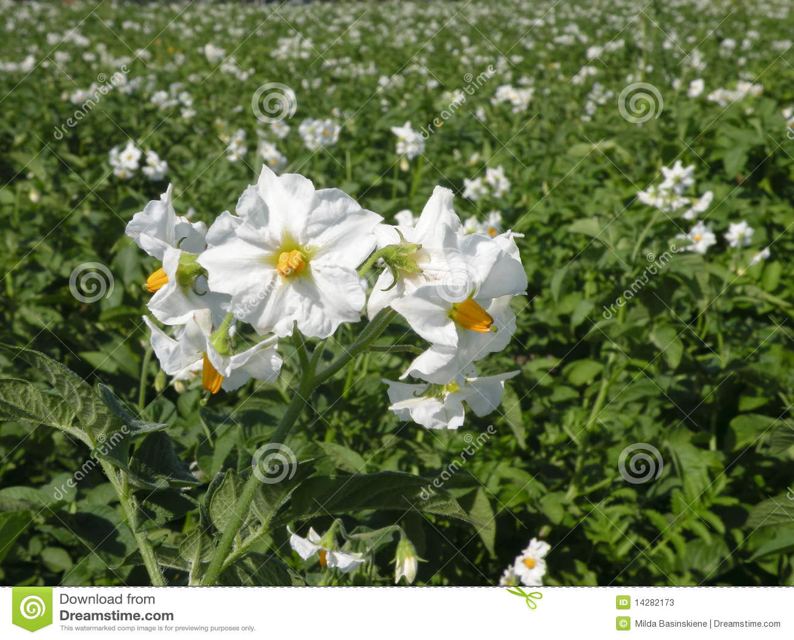 fleur de pommes de terre image stock image du agriculture 14282173. Black Bedroom Furniture Sets. Home Design Ideas
