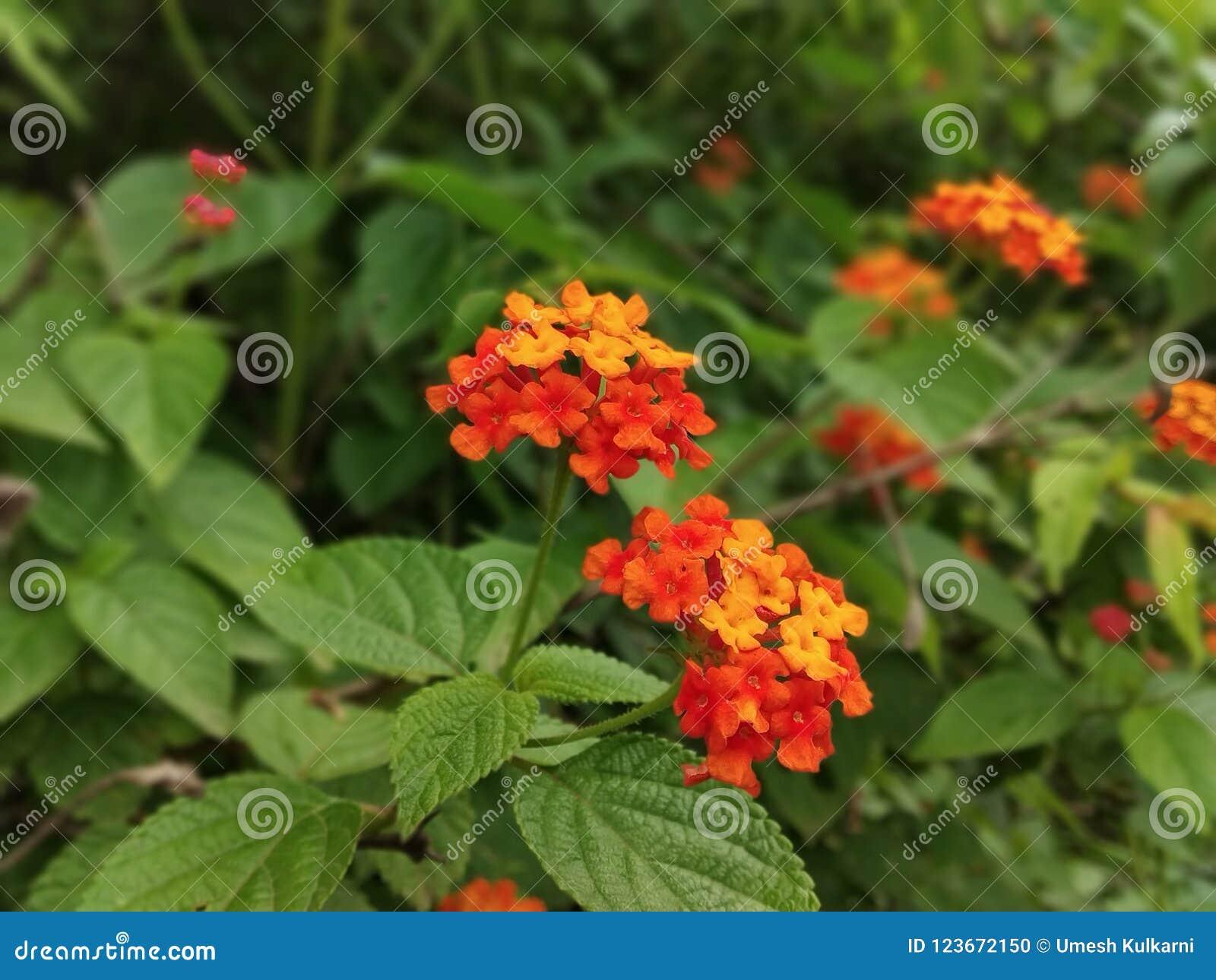 Fleur de Redorange