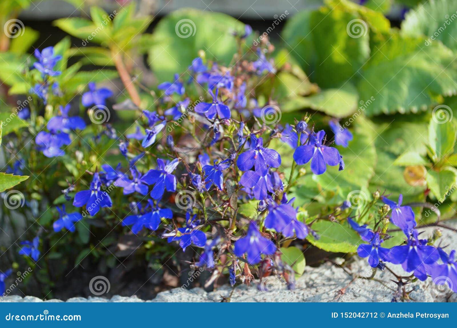 Fleur de ressort de Nemophila