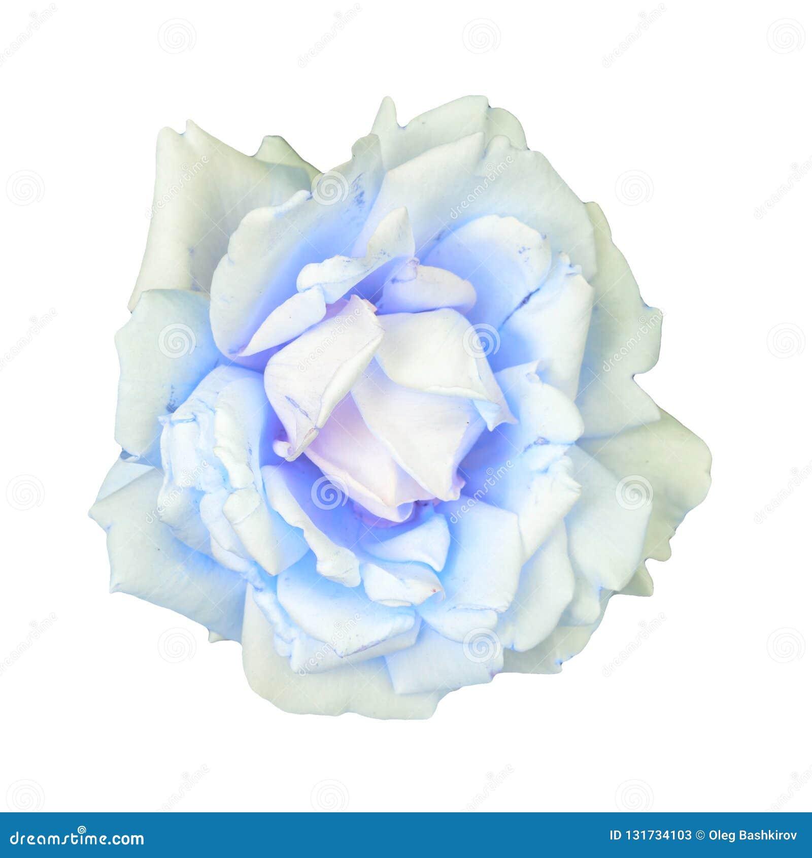 Fleur de rose de blanc sur un fond blanc