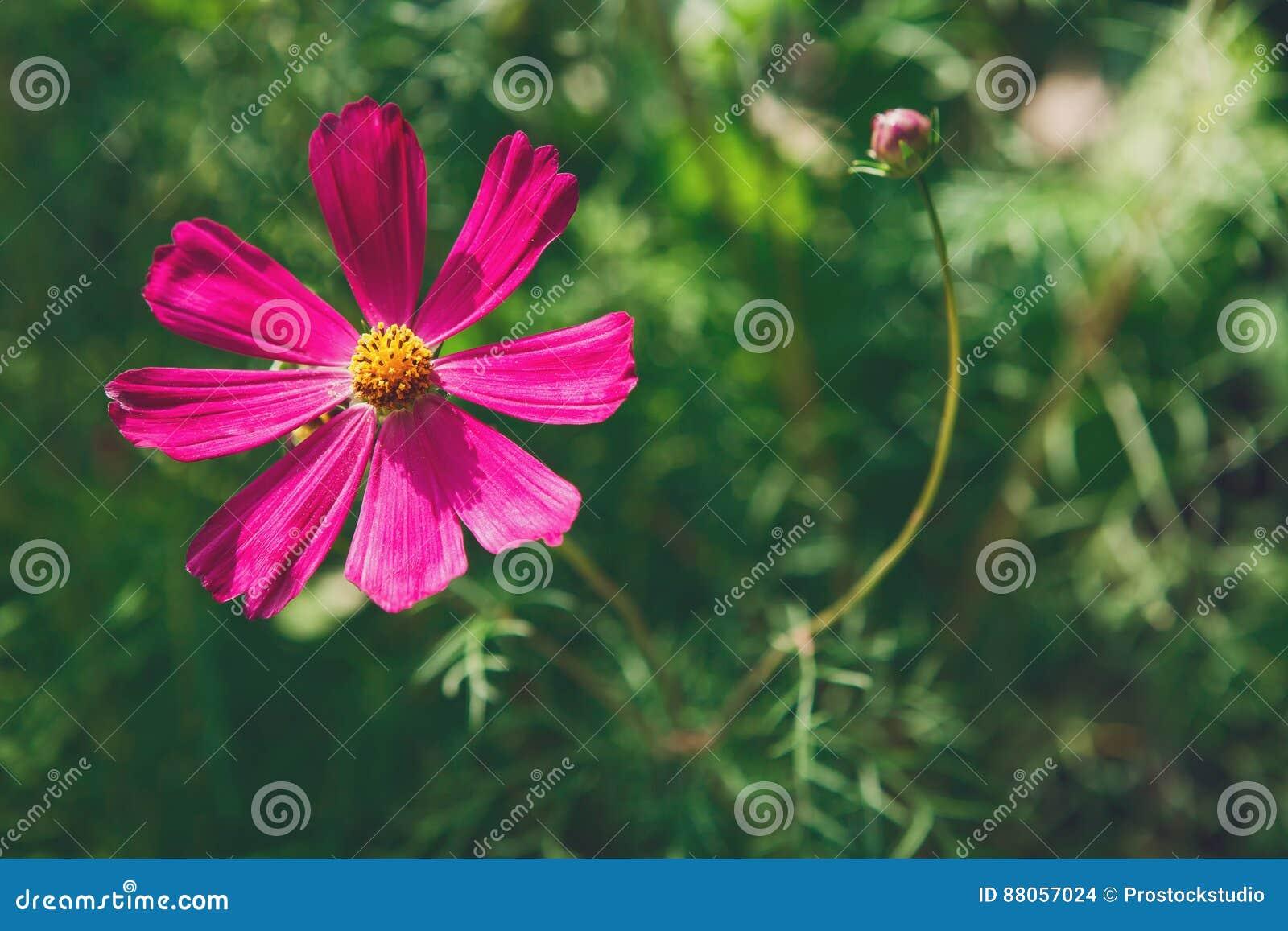 Fleur De Rose D Aster Ou Cosmos Mexicaine De Jardin Plan Rapproche