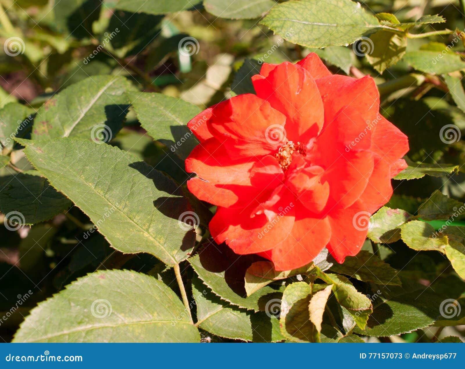 Fleur de rose de rouge sous la lumière du soleil