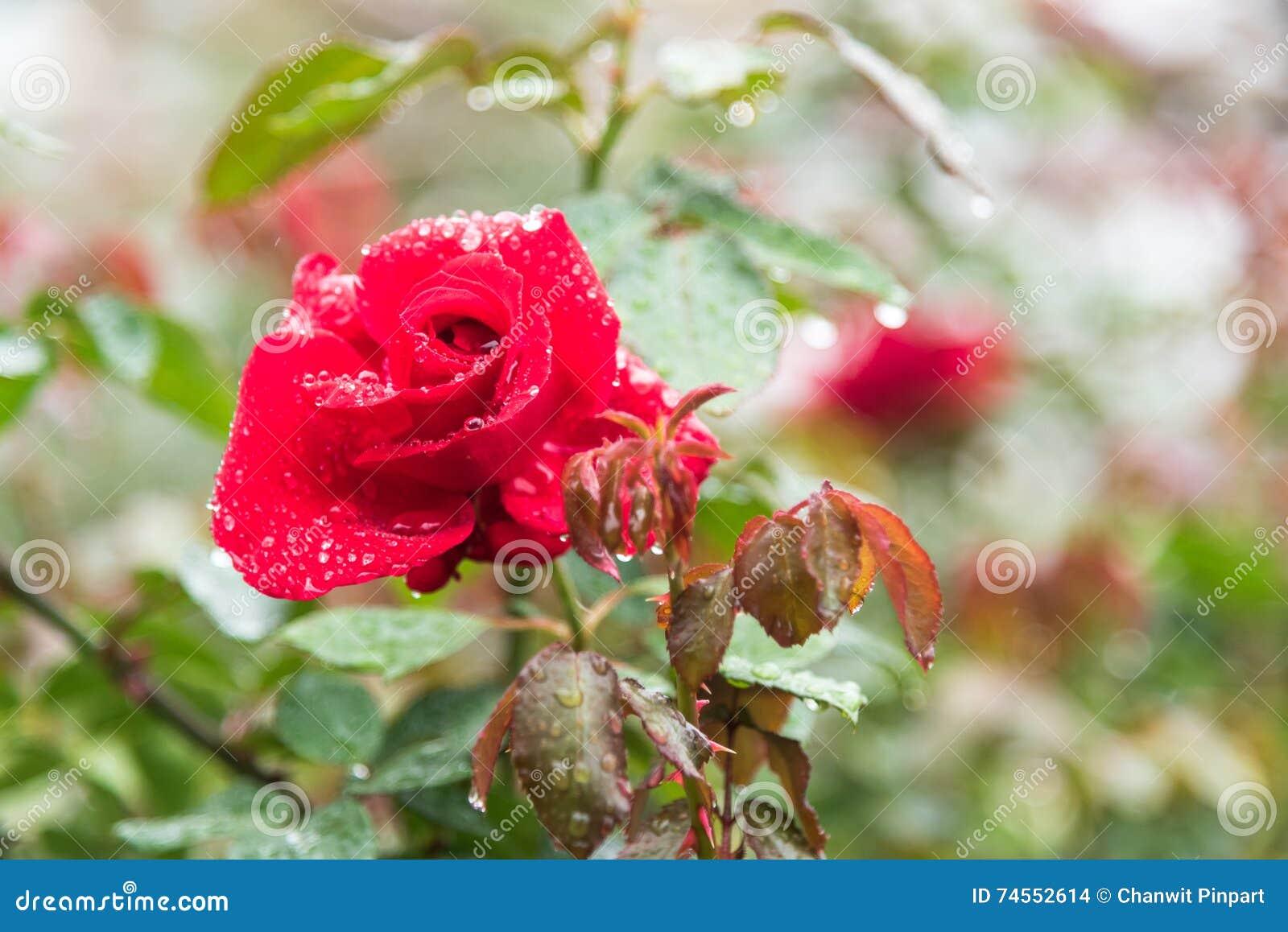 fleur de rose de rouge sur la branche avec des baisses de rosée dans