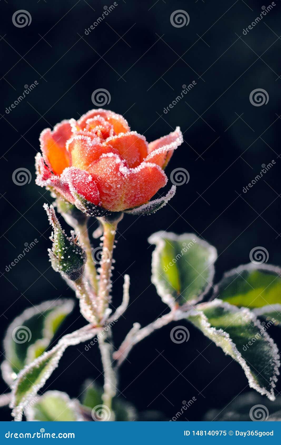 Fleur de Rose en gelée dans le jardin Premier gel