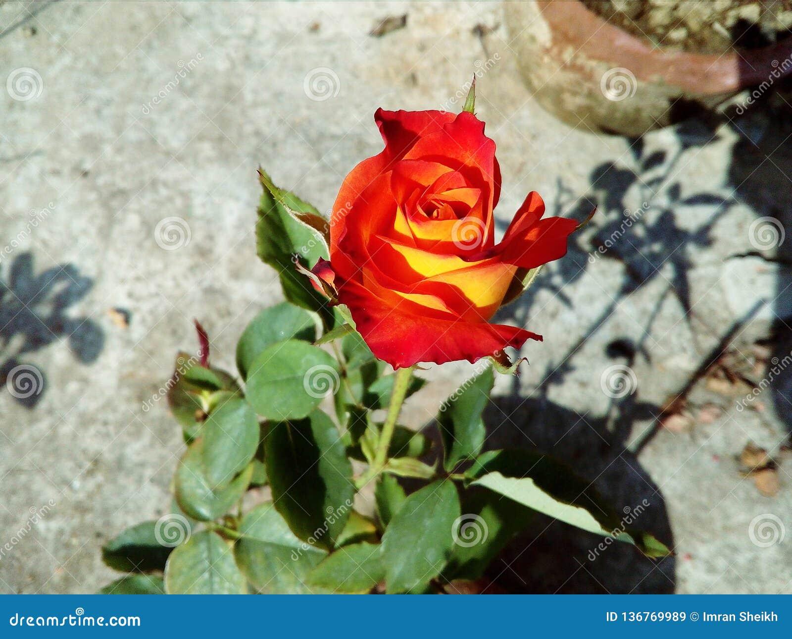 Fleur de fleur de rose de rouge en été