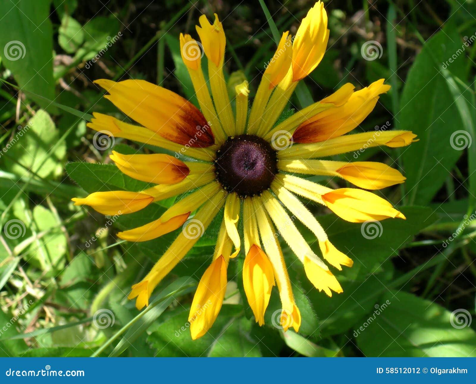 Fleur de Rudbeckia