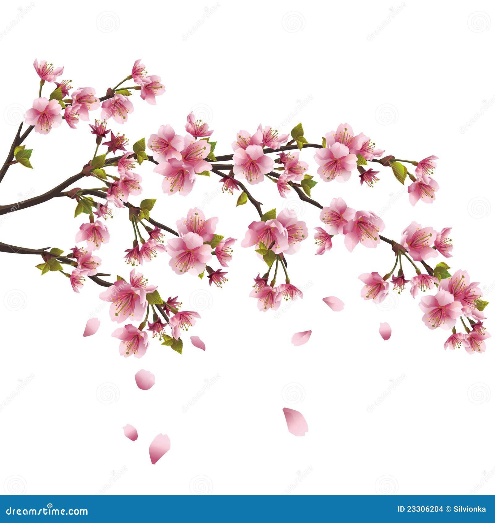 Fleur De Sakura - Cerisier Japonais D'isolement Images ...