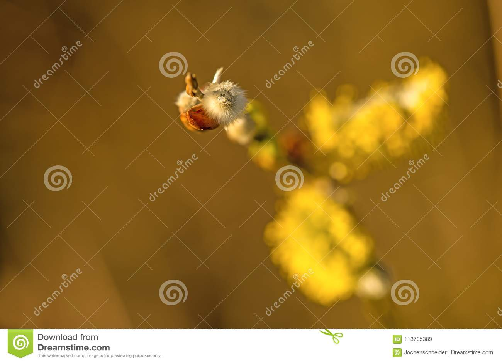 Fleur de saule dans le printemps