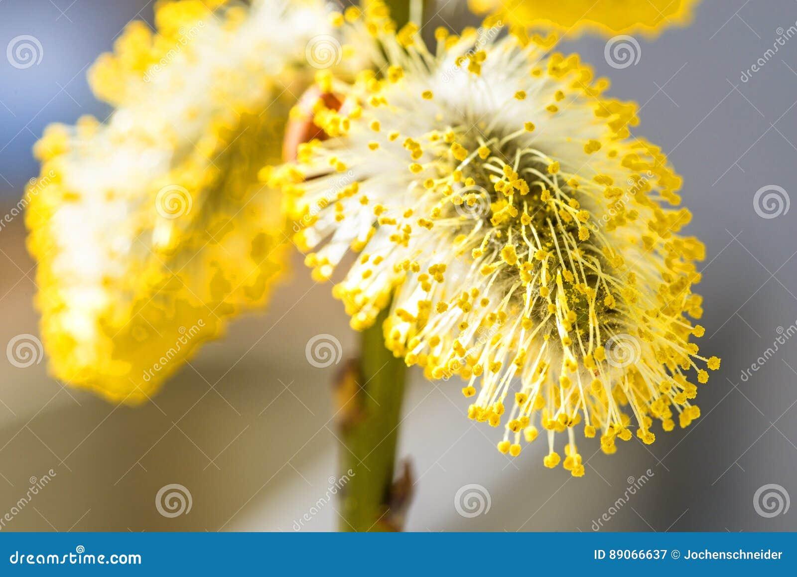 Fleur de saule dans un plan rapproché
