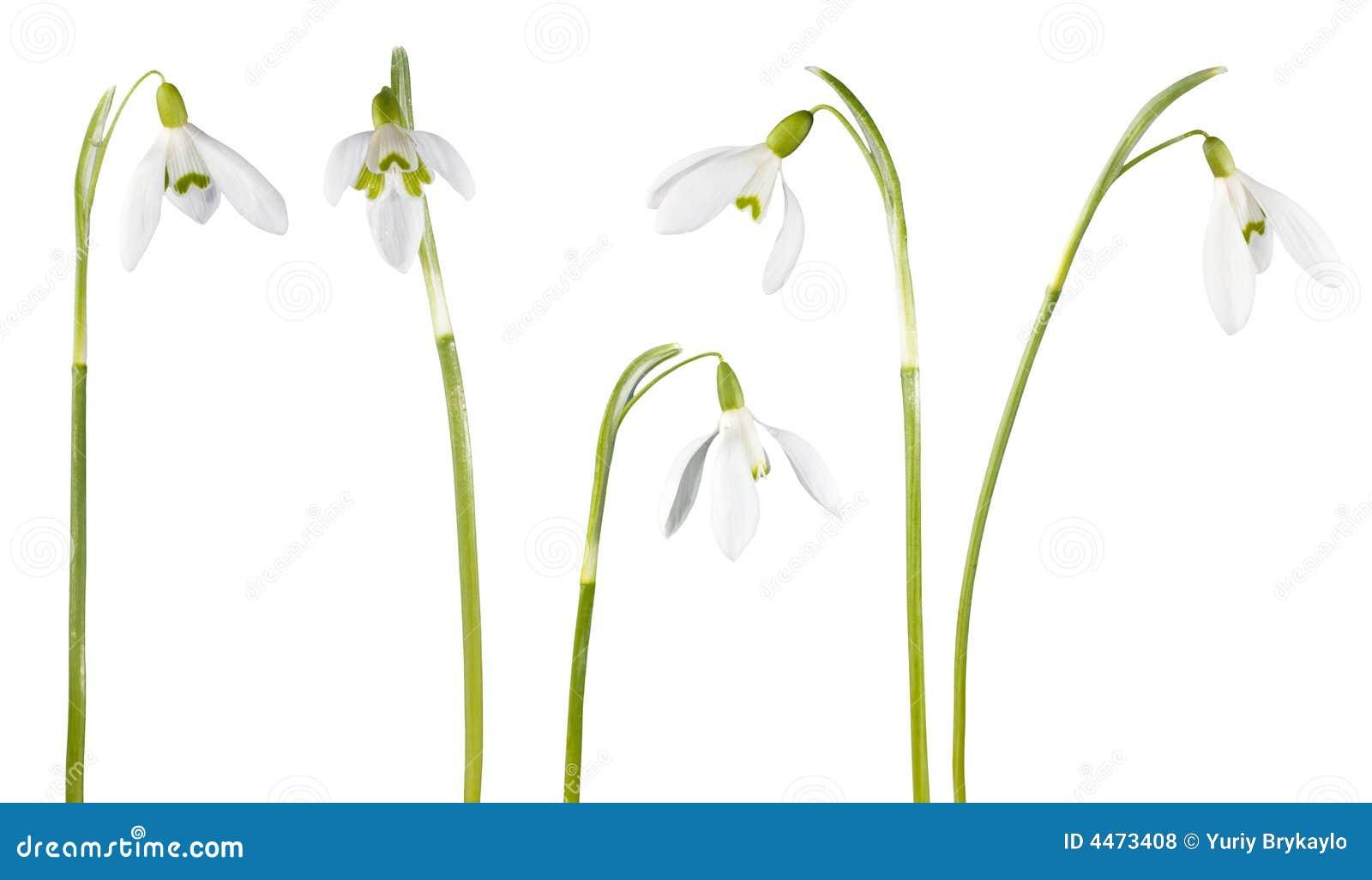 Fleur de Snowdrop d isolement