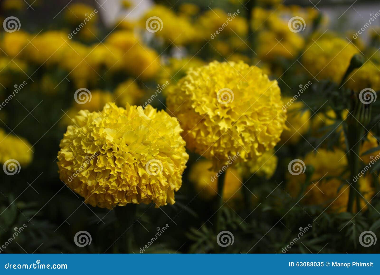 Download Fleur de soucis image stock. Image du floraison, nature - 63088035