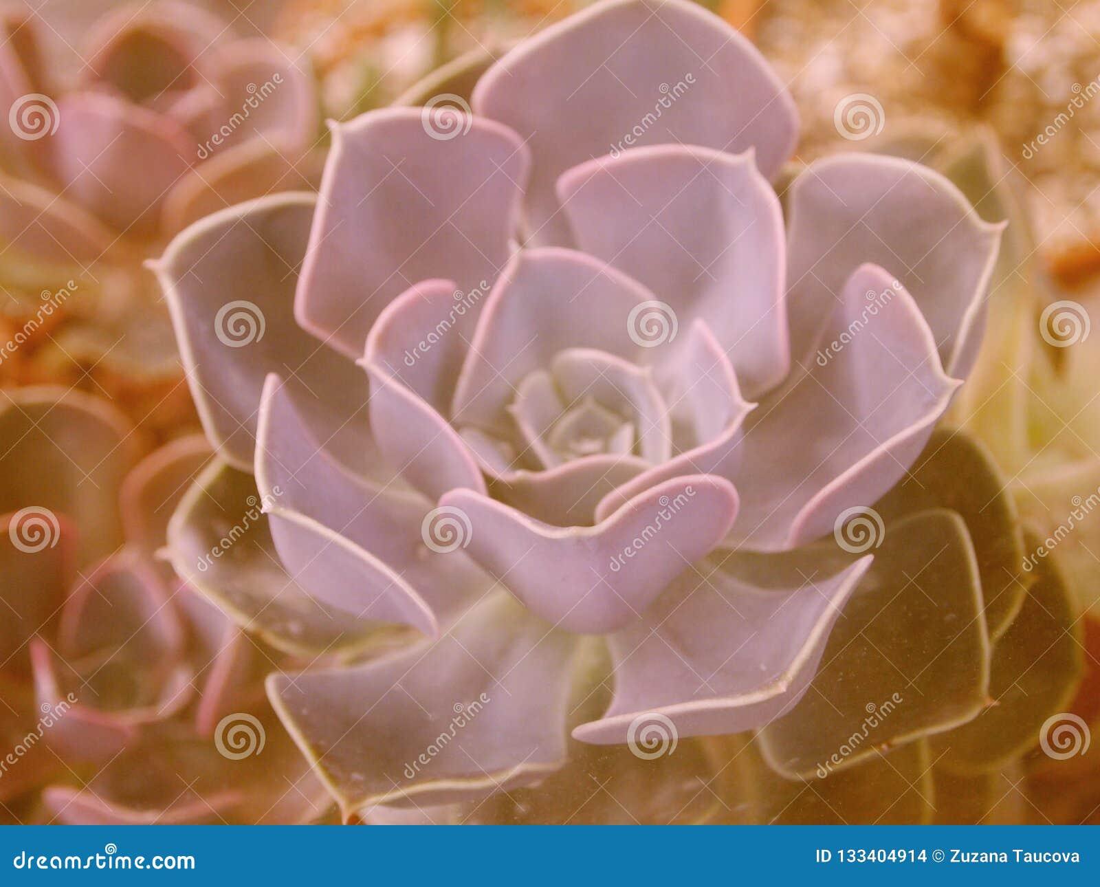 Fleur de style de boho de houseleek de Suculent dans la rétro couleur