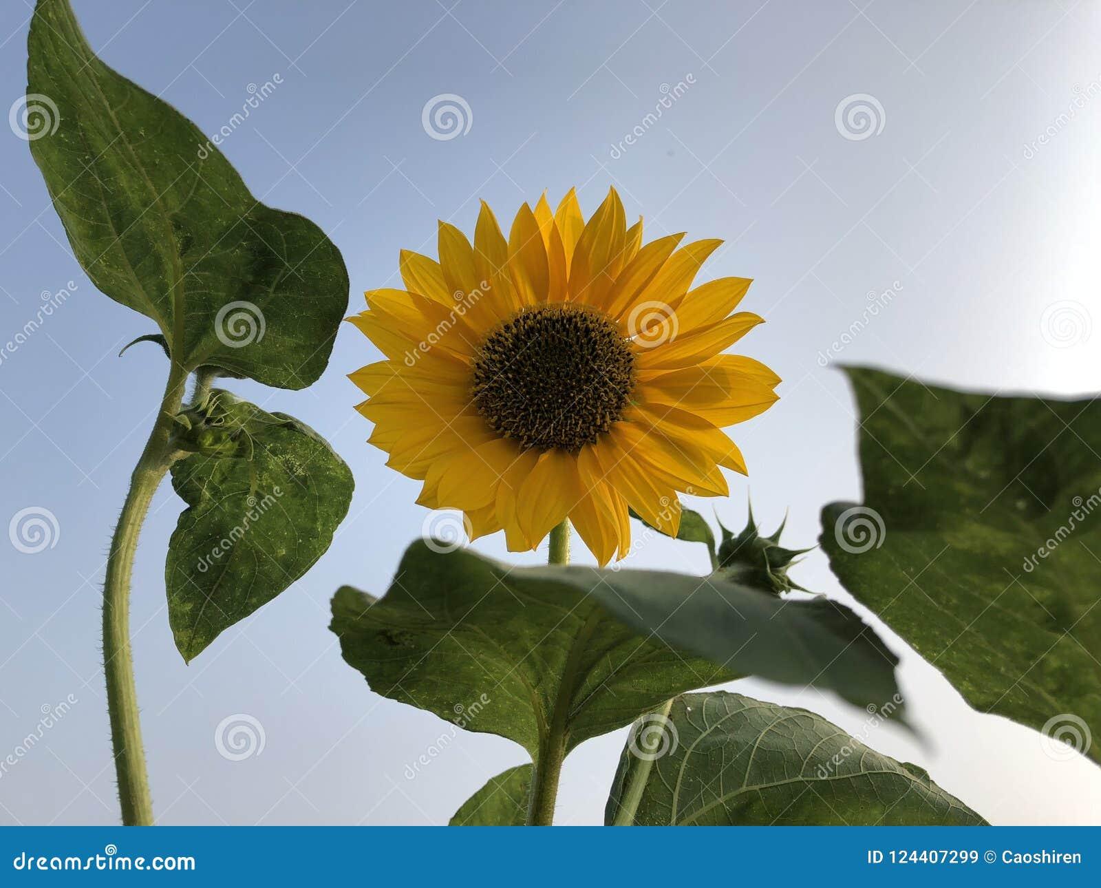 Fleur de Sun, Helianthus ciel bleu comme fond