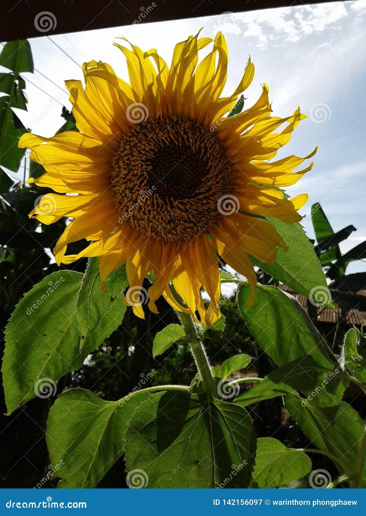 Fleur de Sun