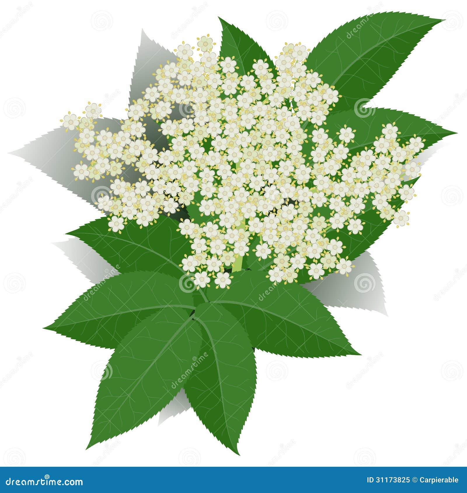 Fleur De Sureau Photo libre de droits - Image: 31173825