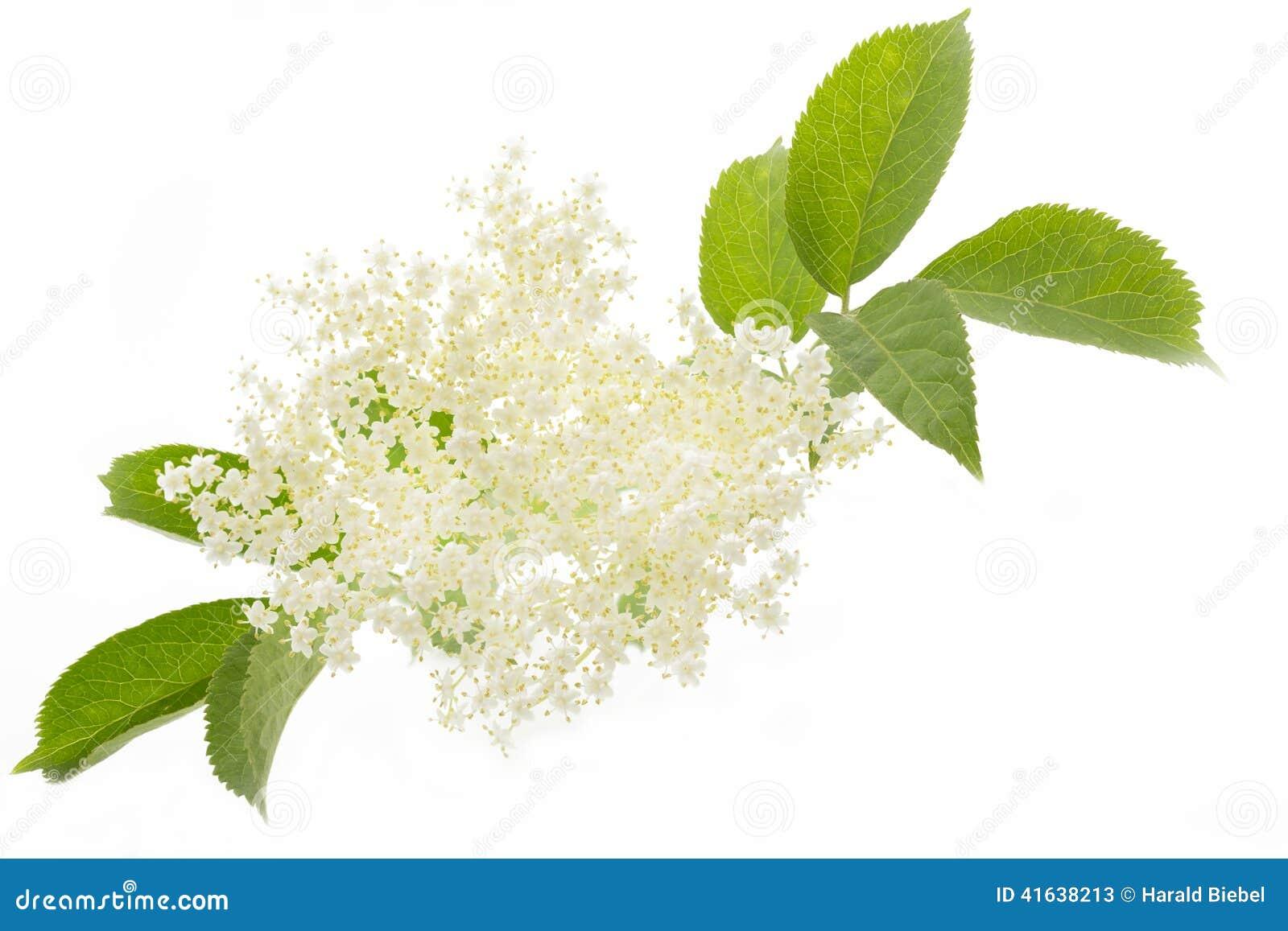 fleur de sureau sur le fond blanc photo stock - image: 41638213