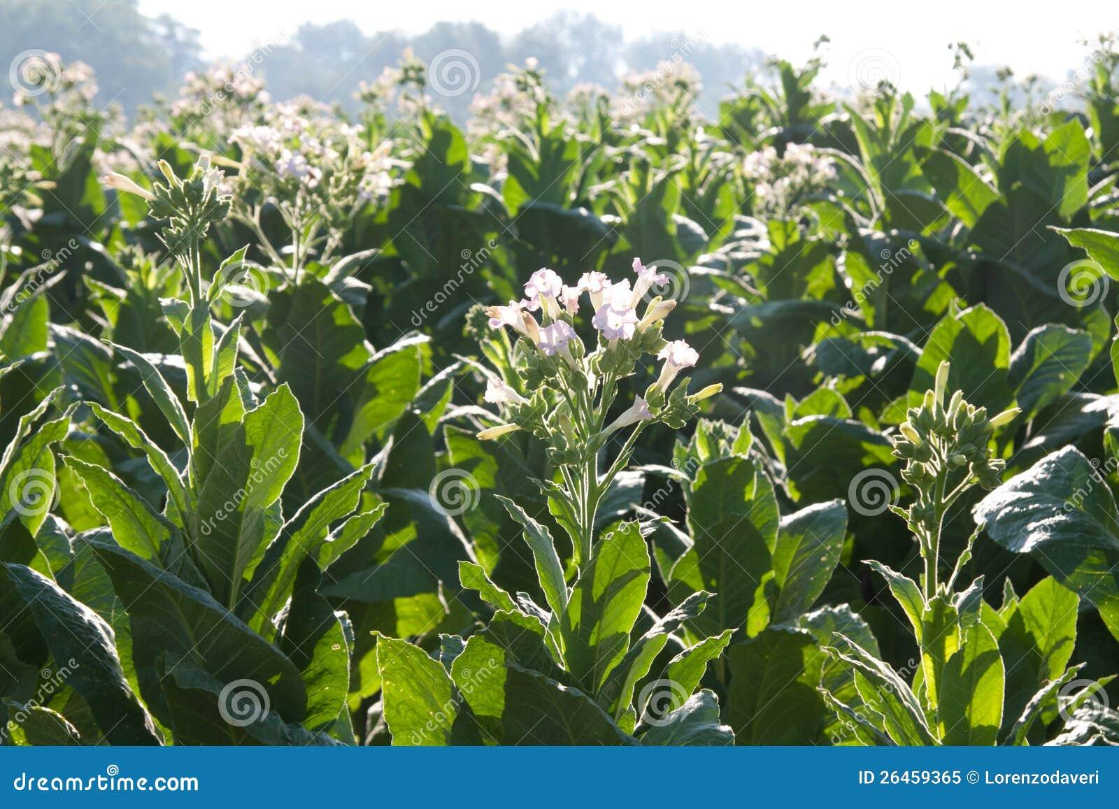 fleur de tabac image stock image du zone leafs virginia 26459365. Black Bedroom Furniture Sets. Home Design Ideas