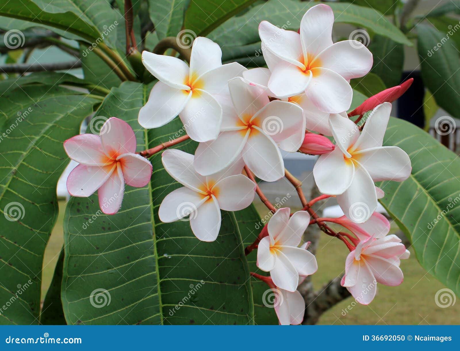 fleur de tiare fleurs tropicales frangipanier photo stock image 36692050. Black Bedroom Furniture Sets. Home Design Ideas