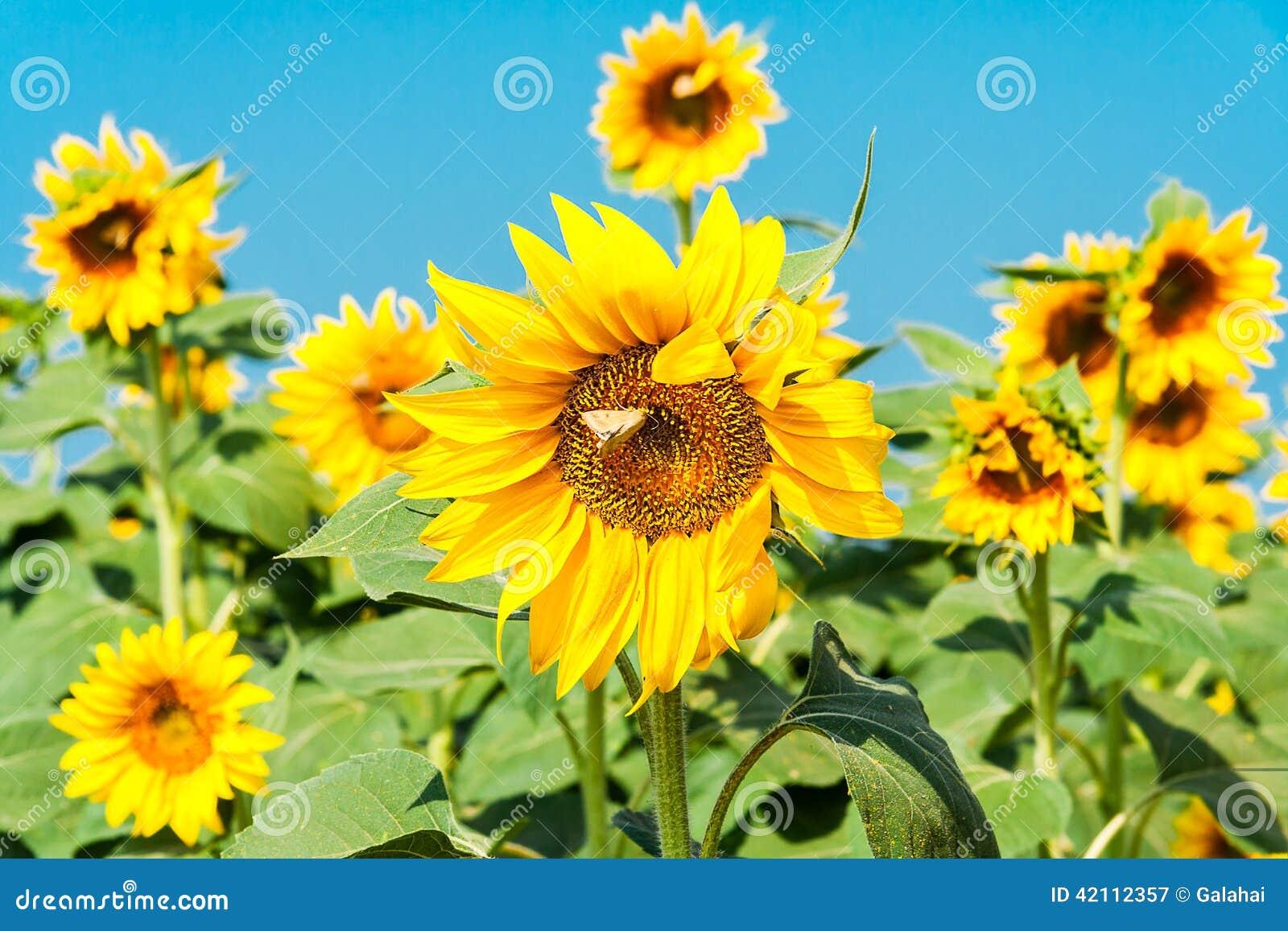 fleur de tournesol avec un papillon image stock image du fleur floraison 42112357. Black Bedroom Furniture Sets. Home Design Ideas