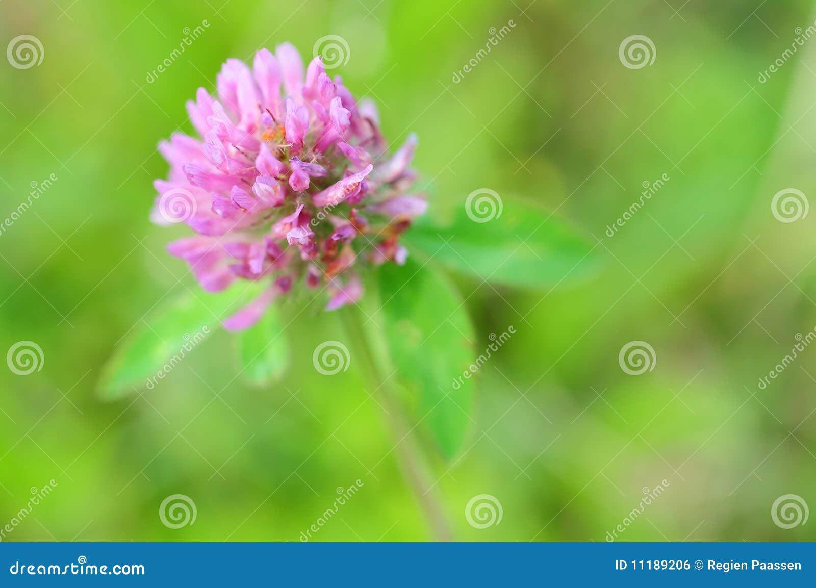 Fleur de trèfle commun