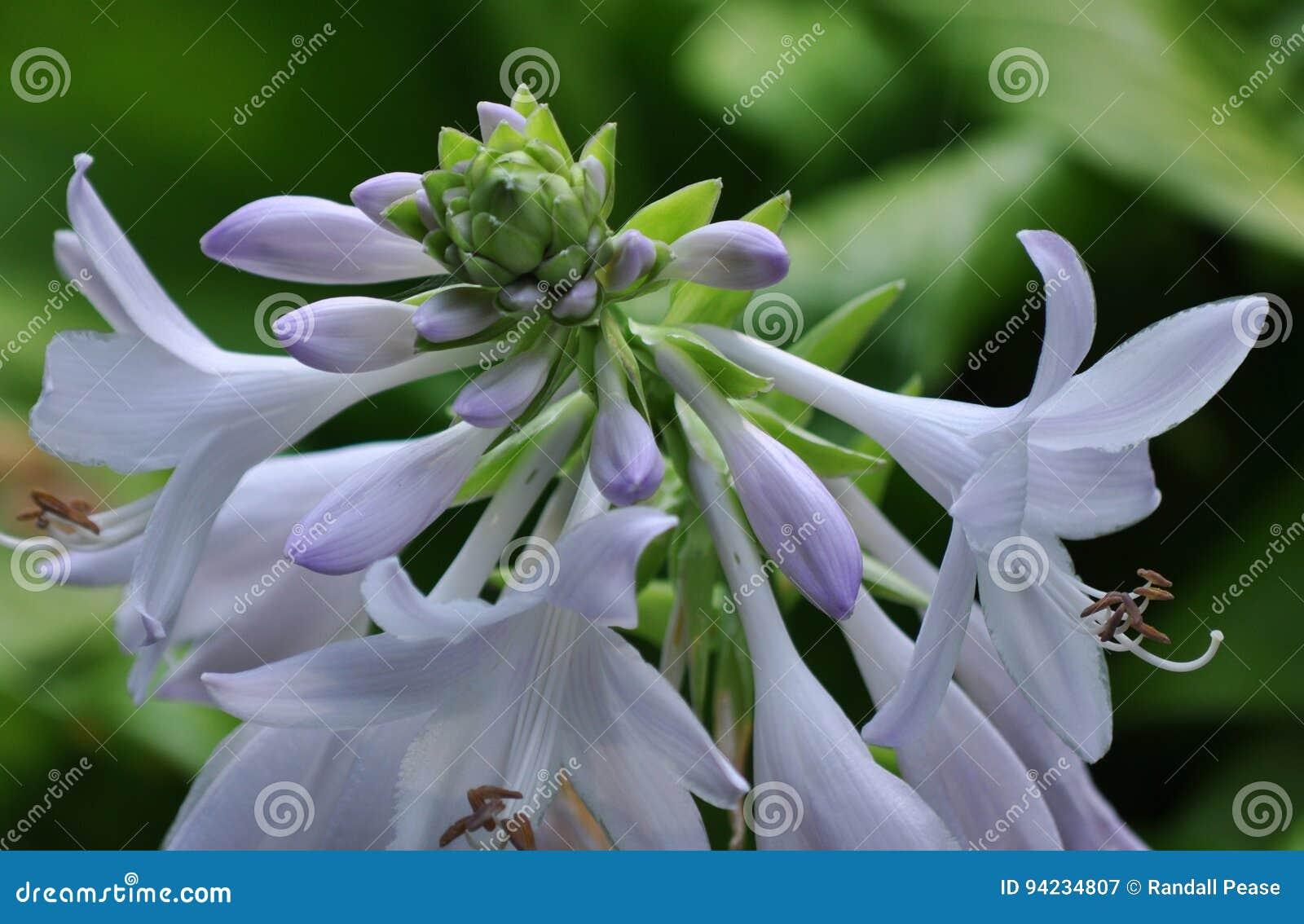 Fleur de trompette blanche