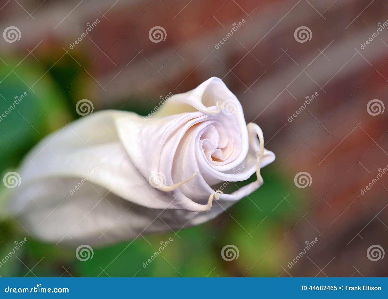Fleur De Trompette De L Ange Image Stock Image Du Isolement