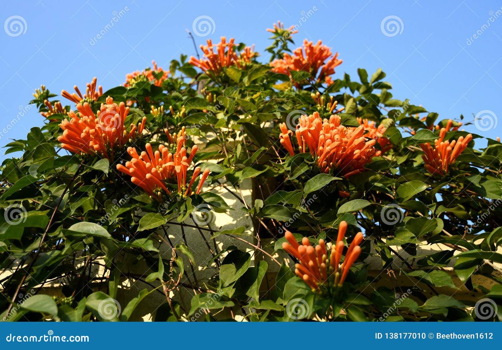 Fleur de trompette de Pyrostegia Venusta Oange