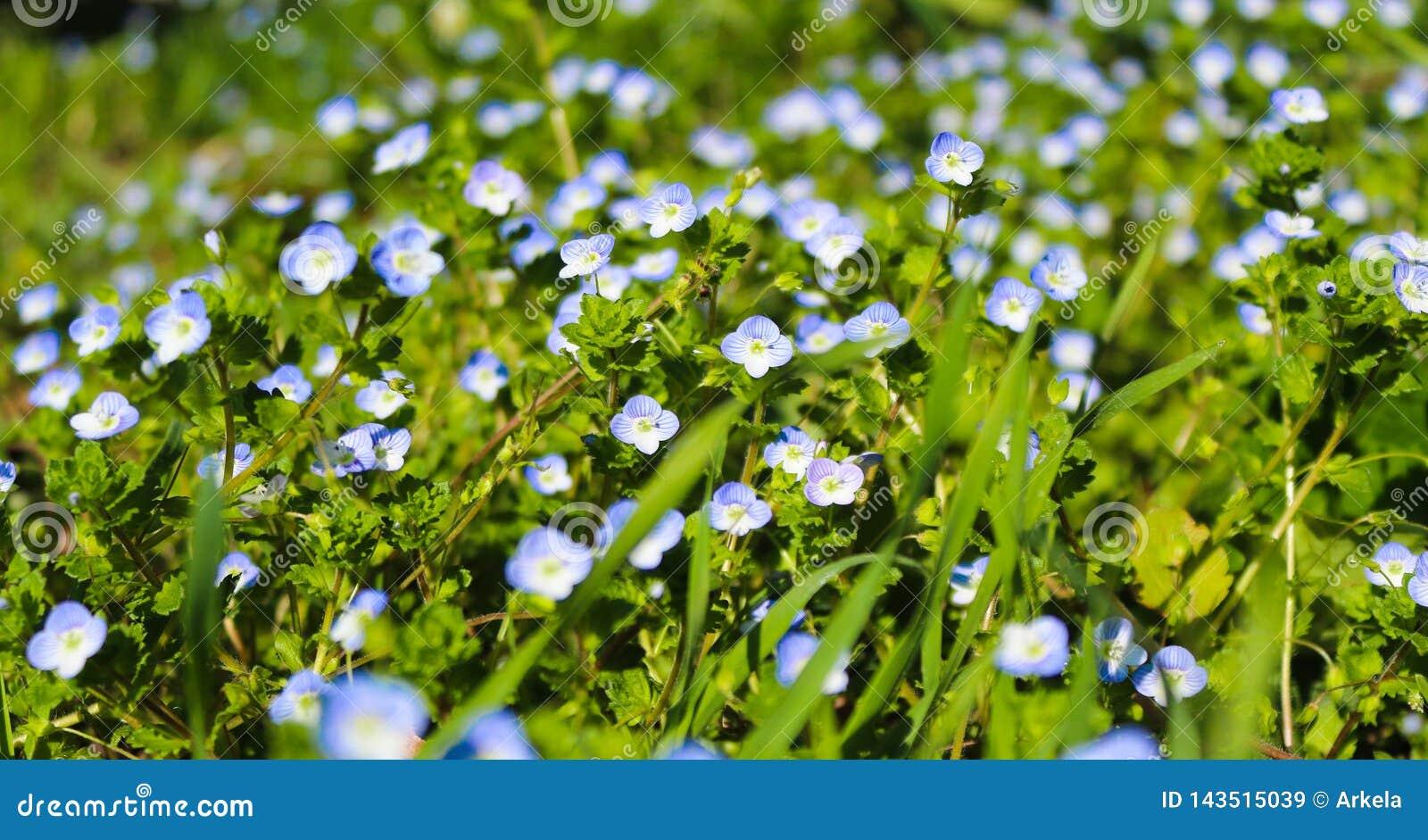 Fleur de Veronica, pré bleu