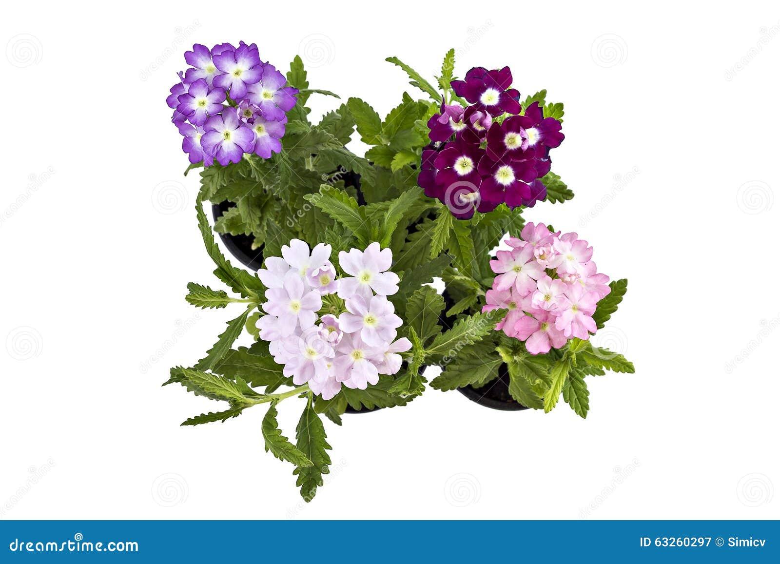 fleur de verveine image stock image du beau p tale 63260297. Black Bedroom Furniture Sets. Home Design Ideas
