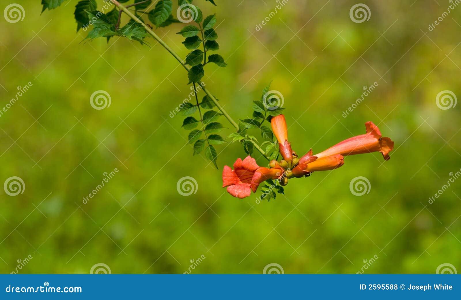 Fleur de vigne de plante grimpante de trompette photos libres de droits image 2595588 - Fleur en forme de trompette ...