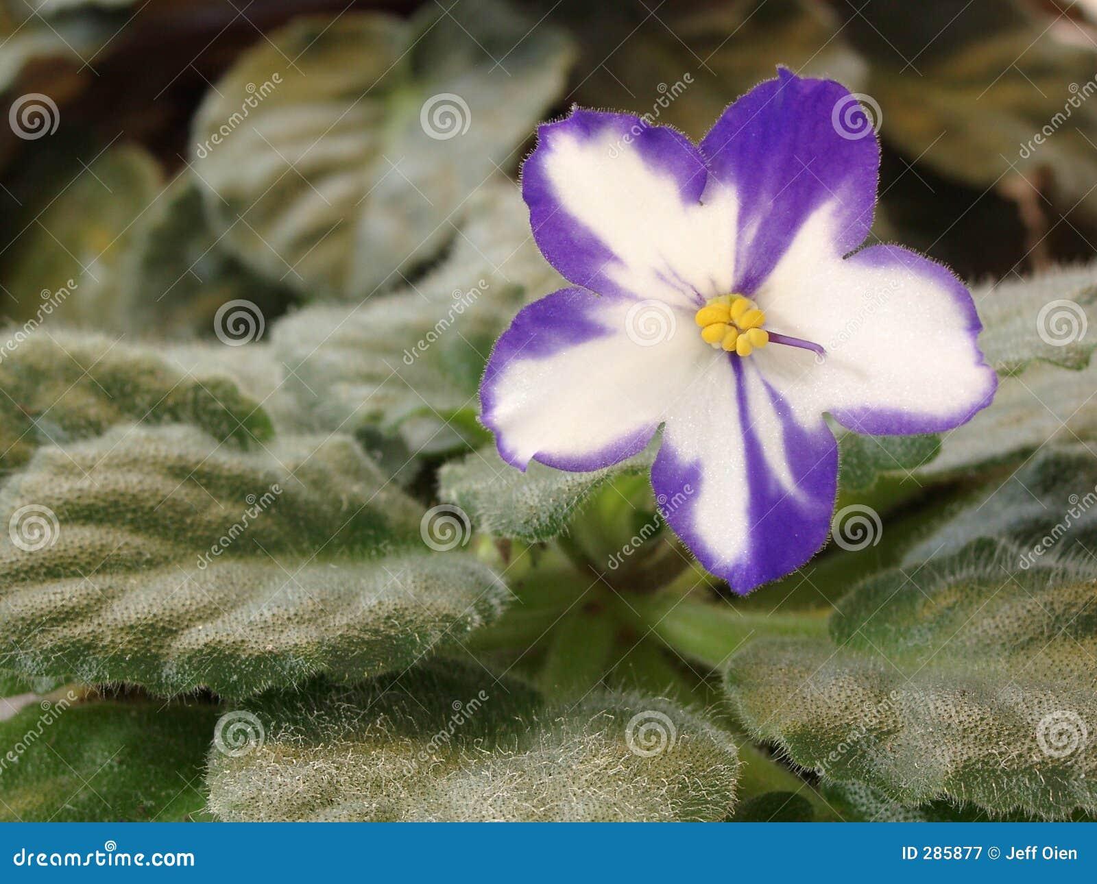 Fleur de violette africaine image stock image 285877 for Violette africane